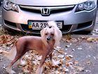 Фотография в Собаки и щенки Вязка собак Кобелечек китайская хохлатая приглашает на в Киеве 800