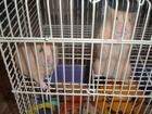Новое фото Грызуны Отдам бесплатно сибирских хомячков 38850694 в Кимрах