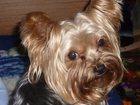 Изображение в Собаки и щенки Продажа собак, щенков Люди добрые! Я прошу, конечно, о невероятном, в Кинели 0