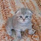 Куплю шотландского вислоухого котёнка
