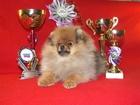 Фотография в Собаки и щенки Продажа собак, щенков Продаётся щенок шпица - девочка, документы в Кирове 500000