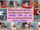 Сибирский хаски фото в Кирове