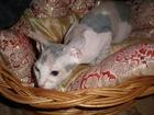 Просмотреть изображение Вязка кошек ищу кота для вязки породы Донской сфинкс 44064961 в Кирове