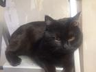 Смотреть foto Отдам даром - приму в дар Отдам Британского котика в дар 68621238 в Кирове