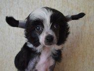 Миниатюрные щенки китайской хохлатой собаки Продаются миниатюрные щенки китайско