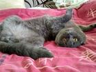 Фотография в Кошки и котята Вязка ф в Кировограде 300