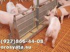 Скачать foto Другие животные Поросятакорытники 34215688 в Кировске