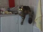 Фотография в Кошки и котята Вязка Кошка мейн кун ищет жениха на севере Москвы, в Зеленограде 0