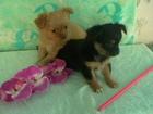 Фото в   Продаются щенки чихуахуа разных окрасов, в Клине 8000