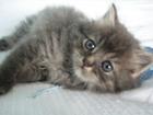 Фотография в Кошки и котята Продажа кошек и котят Отдам пушистого дымчатого котенка мальчика в Коломне 0