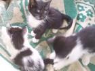 Скачать фотографию Отдам даром - приму в дар Отдам разношерстных котят в добрые руки 69368708 в Колпино