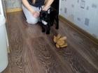 Изображение в Собаки и щенки Продажа собак, щенков продам щенка девочка родилась 02. 2015. в Комсомольске-на-Амуре 8000