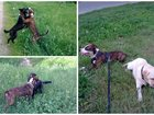 Фото в Собаки и щенки Вязка собак Стаффордширский терьер. Мальчик - 3 года в Королеве 10
