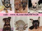 Фотография в Собаки и щенки Продажа собак, щенков ТОЙ-ТЕРЬЕРА красивеееееннных щенков продам в Костроме 0