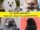 Фото в Собаки и щенки Продажа собак, щенков Щеночки шпица! Хороший выбор, разные окрасы в Костроме 0