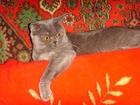 Скачать бесплатно изображение Вязка Вязка с британским котом голубого окраса 38927294 в Костроме