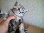 Фото в Кошки и котята Продажа кошек и котят шотландские красавчики-1. 5 месяца  ГОТОВЫ в Вичуге 0