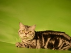 Смотреть изображение  Кот мраморный вязка, британец опытный 40126917 в Костроме