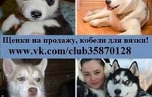 Щенки сибирской хаски в продаже
