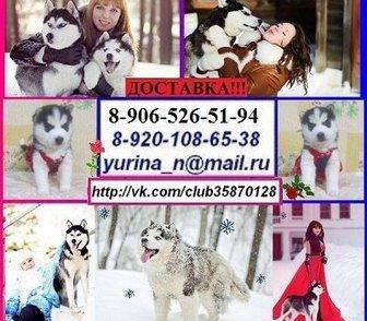 Фотография в Собаки и щенки Продажа собак, щенков Щенков хаски продам недорого. 4 черно-белых в Костроме 0