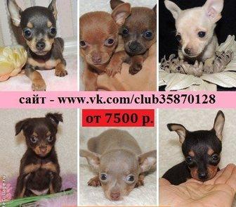 Фото в Собаки и щенки Продажа собак, щенков Продам щеночков той терьера недорого по хорошей в Костроме 0