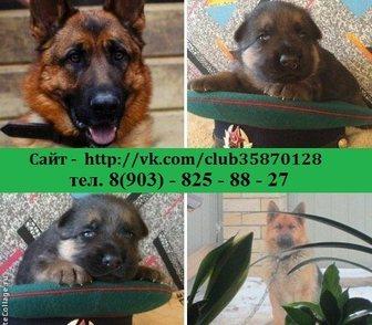 Изображение в Собаки и щенки Продажа собак, щенков ЩЕНКИ НЕМЕЦКОЙ ОВЧАРКИ чистокровных крупных в Костроме 7000