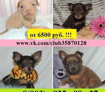 Фотография в Собаки и щенки Продажа собак, щенков Продам дёшево щенков той-терьера!   Огромный в Костроме 6500