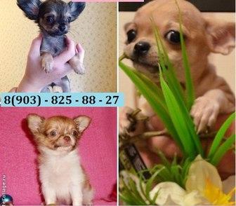 Фото в Собаки и щенки Продажа собак, щенков Чистокровные и не чистокровные щеночки чихуахуа в Костроме 0