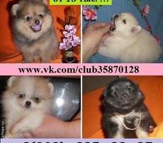 Фото в Собаки и щенки Продажа собак, щенков Недорого продам щенков шпица чистокровных в Костроме 15000