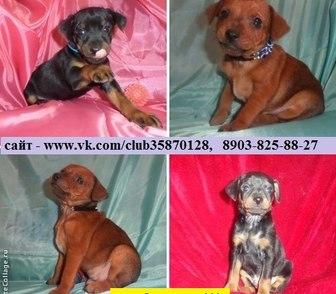 Фото в Собаки и щенки Продажа собак, щенков Карликового пинчера (цвергпинчера) красивеньких в Костроме 0