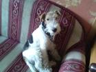 Изображение в Собаки и щенки Вязка собак МОЛОДОЙ ЭНЕРГИЧНЫЙ ЖЕСТКОШЕРСТНЫЙ ФОКСТЕРЬЕР в Котласе 0