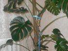 Изображение в Домашние животные Растения Продам Монстеру. Высота 2 метра. Цена до в Коврове 0