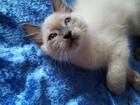 Изображение в Кошки и котята Продажа кошек и котят невские маскарадные котята родились 12 марта в Краснодаре 5000