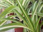 Просмотреть фотографию  Хлорофитум растения в горшках 32848515 в Краснодаре