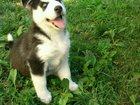 Изображение в Собаки и щенки Продажа собак, щенков Продаются щеночки хаски оотличные гены правильные в Краснодаре 25