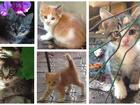 Фотография в Отдам даром - Приму в дар Отдам даром Чудесные, котята от умной трехцветной кошки-мышеловки. в Краснодаре 1