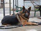 Фотография в Собаки и щенки Вязка собак Предлагаю для вязки кобеля немецкой овчарки. в Краснодаре 0