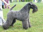 Фотография в Собаки и щенки Продажа собак, щенков Предлагаются к резервированию щенки Керри в Краснодаре 25000