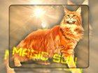 Фото в   Котята породы Мейн Кун из питомника Magic в Краснодаре 8000