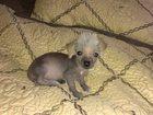Изображение в Собаки и щенки Продажа собак, щенков Продается мальчик китайской хохлатой. есть в Краснодаре 4500