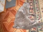 Фото в Кошки и котята Вязка шотландка вислоухая ищет шотландца прямоухого в Краснодаре 0