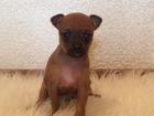 Фото в   Продаются щенки Той терьера (мини собачки). в Краснодаре 8000