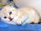 Фото в Кошки и котята Продажа кошек и котят малыши редчайшего колорного окраса с голубыми в Краснодаре 0