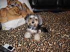 Изображение в Собаки и щенки Вязка собак Очень добрый, контактный мальчик 3годика, в Краснодаре 0