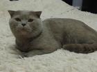 Фотография в Кошки и котята Вязка Шотландский вислоухий лиловый кот на случку! в Краснодаре 1000
