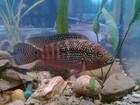Скачать изображение Аквариумные рыбки Цихлиды 37489613 в Краснодаре