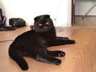 Foto в Кошки и котята Вязка Очаровательный шотландец черный короткошорстный в Краснодаре 700