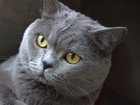 Фотография в Кошки и котята Вязка Опытный британец голубого окраса приглашает в Краснодаре 2500