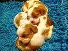 Фото в Собаки и щенки Продажа собак, щенков Предлагаются к резервированию мальчики. Окрас в Армавире 40000
