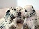 Фото в   Добрые, ласковые, игривые щенки породы Далматин в Краснодаре 0